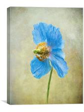 Blue Poppy, Canvas Print