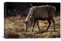 Wild Red Deer Stag, Canvas Print