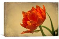 Orange Double Tulip, Canvas Print