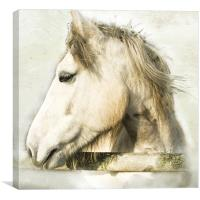 White Horse Looking Sideways, Canvas Print