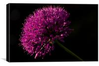 Allium Purple Sensation, Canvas Print