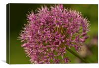 Pink Allium, Canvas Print