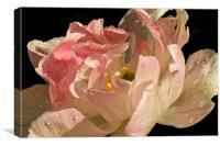 Tulip in the Rain, Canvas Print