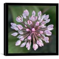 Allium Flower Macro, Canvas Print