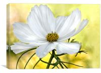 White Watercolour Cosmos Floral, Canvas Print