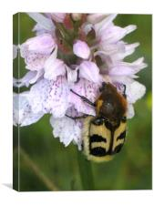 Bee Beetle on Spotted Orchid, Canvas Print