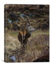 Red Deer Stag in Scotland, Canvas Print