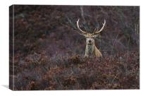 Stag in the Heather, Canvas Print