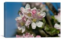 Apple Blossom Pink, Canvas Print