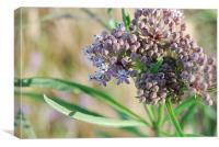 Purple milkweed flower