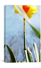 daffodil1, Canvas Print