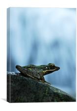 Rainforest Frog, Canvas Print
