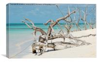 Driftwood - Barbuda, Canvas Print