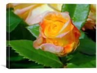 Rain Drop Rose, Canvas Print