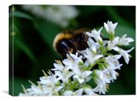 Bee On A White Flower, Canvas Print
