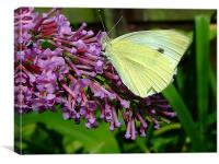 Cabbage Butterfly, Canvas Print