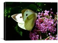 Cabbage Butterfly 1, Canvas Print
