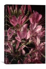 Cleome Close and Personal 3703_9652, Canvas Print