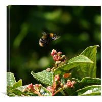 Buzzing Bumblebee, Canvas Print