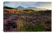 Mournes heather, Canvas Print