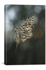 Golden Corn, Canvas Print