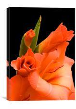 Gladiolus, Canvas Print