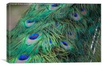 Shining peacock feathers, Canvas Print