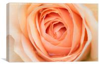 Perfectly Pink Rose, Canvas Print