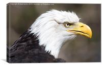 Frowning Bald Eagle, Canvas Print