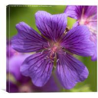 Sticky Purple Geranium, Canvas Print