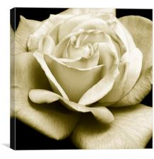 Glorious Rose, Canvas Print