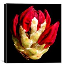 Rhodidendron Bud Posterized, Canvas Print