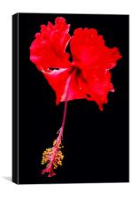 Stiking Hibiscus, Canvas Print