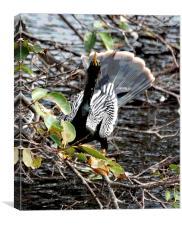 White Winged Cormorant, Canvas Print