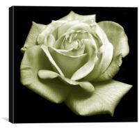 Rose Duotone