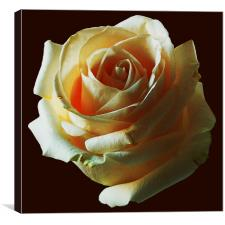 Rose , Canvas Print
