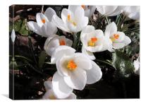 Bunch of White Crocus , Canvas Print