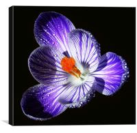 Fully Silhouetted Crocus , Canvas Print