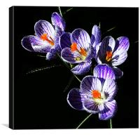 Silhouetted Striped Crocus , Canvas Print