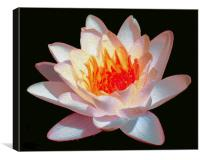 Oil Painted Waterlily , Canvas Print