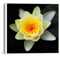 Gorgeous Water Lily, Canvas Print