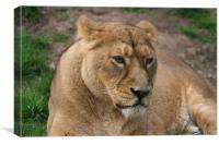 Grumpy lioness, Canvas Print