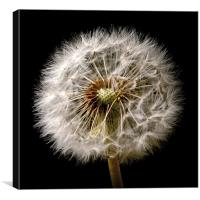 Dandelion Dreams, Canvas Print