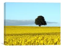 Fife's Golden Fields Of Rapeseed., Canvas Print