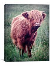 Highland Cow, Scotland., Canvas Print