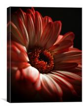 Two Toned Gerbera., Canvas Print