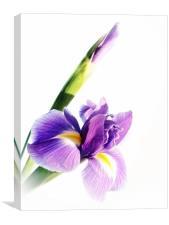 Iris In Bloom, Canvas Print
