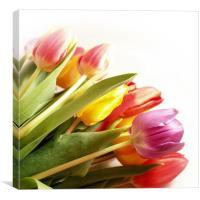 A Tulip Rainbow, Canvas Print