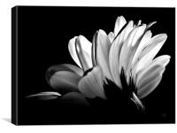 Gerbera In Black And White., Canvas Print