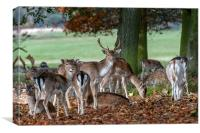 Fallow Deer at Holham Hall, Canvas Print